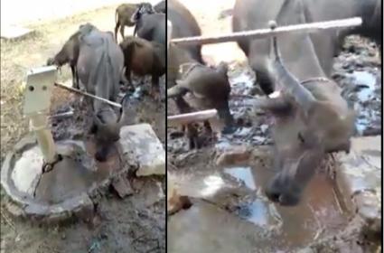 Buffalo Intelligence Viral Video - Sakshi