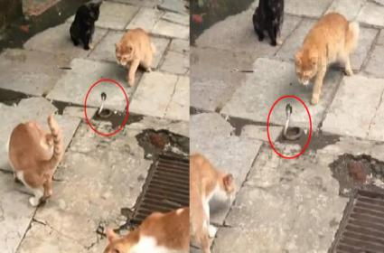 Viral Video Four Cats Confronting A Snake - Sakshi