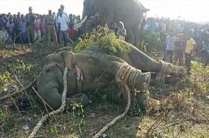Rogue Bin Laden Elephant Caught In India After Killing 5 People - Sakshi