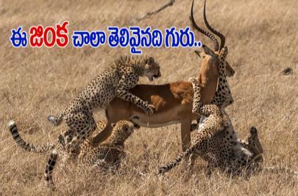 Male buck survives after shaking off five cheetahs in Kenya - Sakshi