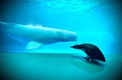 Penguin Visits Whales In Shedd Aquarium Chicago - Sakshi