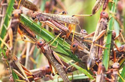 TS Govt Alerted To On Locust Swarm Attack - Sakshi