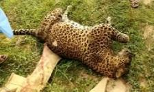 dead leopard found by forest personals in Chittoor forest