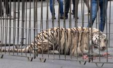 Tiger Escapes From Circus Cage,video goes viral - Sakshi