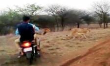 Bikers Chasing Lions In Gujarat - Sakshi