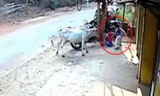 girl save her brother from cow in karnataka, video viral - Sakshi