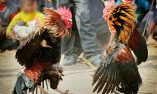 police attack on cock fight place in vijayawada - Sakshi