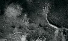 Video Shows Little Kangaroo Rats Using Epic Ninja Moves to Escape Rattlesnakes - Sakshi