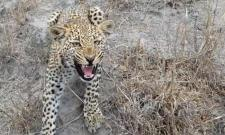 Leopard Cub Reaches Wildlife Photographer He Says Feeling Excited - Sakshi