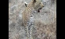 wildlife photographer found himself face to face with a curious leopard cub