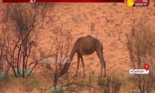 Five thousand camels killed in Australia - Sakshi