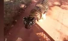 Tiger Chases Bus On Jungle In Chhattisgarh