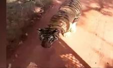 Tiger Chases Bus On Jungle In Chhattisgarh