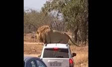 Lion sits on roof of safari car