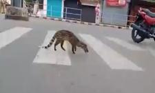 Malabar Civet Walks On Kerala Road In Lockdown Time