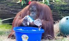 Chimpanzee Washing Her Hands With Brush