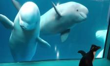 Penguin Visits Whales In Shedd Aquarium In Chicago