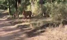 Tigers Fighting For Territory In Central India
