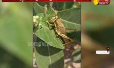 Locust Entered Into Rayadurgam Anantapur District