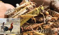 Twenty Rupees For One Kg Locusts In Pakistan - Sakshi