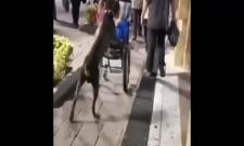 Dog Push Wheelchair In Mexico Viral Video