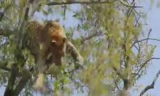 Leopard tries to throw monkey off the branch