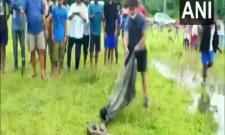 Burmese Python Rescued In Assam Video