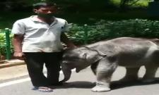 Baby Elephant Vedavathi Runs Behind Her Keeper Somu In Mysore Zoo Viral Video