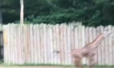 Baby Giraffe Runs Around Video Gone Viral