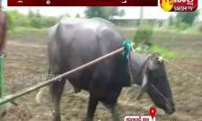 Adilabad: A farmer plowing with buffalo