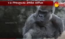 Gorillas Test Corona Positive at San Diego Park in US