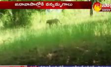 Tigers Hulchal In Villages