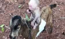 12 Million Views For This Adorable Video Of Baby Monkey Riding A Goat - Sakshi