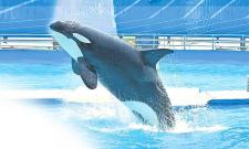 Worlds Loneliest Whale Named Kiska Attempts Suicide
