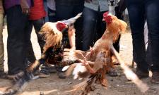 Cock Fighting Sankranti Festival Celebrations In Andhra Pradesh Photo Gallery - Sakshi