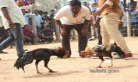 Cock Fighting In Sankranti Festival Celebrations In Andhra Pradesh - Sakshi