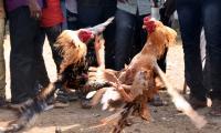 Cock Fighting Sankranti Festival Celebrations In Andhra Pradesh Photo Gallery - Sakshi