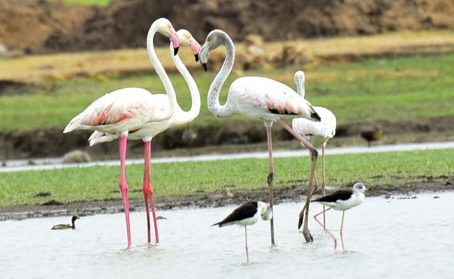 Foreign Birds Came To Wanaparthy Photo Gallery - Sakshi