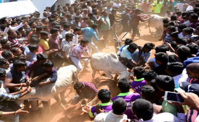Jallikattu Celebrations in Rangampeta Photo gallery - Sakshi