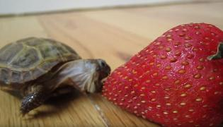 One shell of a sugar rush! Adorable moment a tiny tortoise tastes his first strawberry