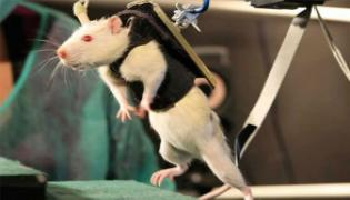 Paralyzed Mice With Spinal Cord Injury Made To Walk Again - Sakshi