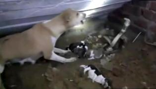 Moment dog tries to protect puppies from deadly Cobra in India - Sakshi
