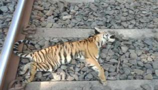 Tiger children killed on train accident - Sakshi