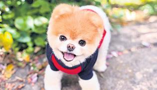 Worlds cutest dog Boo died in US - Sakshi