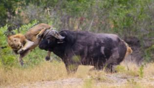 Buffalo Fights Lions and Crocodiles In Viral Video - Sakshi