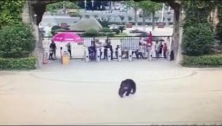 Chimpanzee Escapes Zoo Enclosure In China - Sakshi