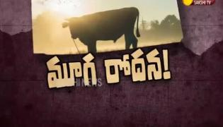 Magazine Story on Cows Dead in Gaushala