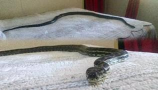 Carpet Python Chilling On Bed After Fall From Ceiling In Australia - Sakshi