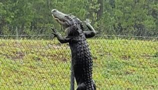 Alligator Climbs Over Fence In Florida Caught On Camera - Sakshi