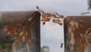 Ants Prove Unity Is The Strength Viral Video - Sakshi